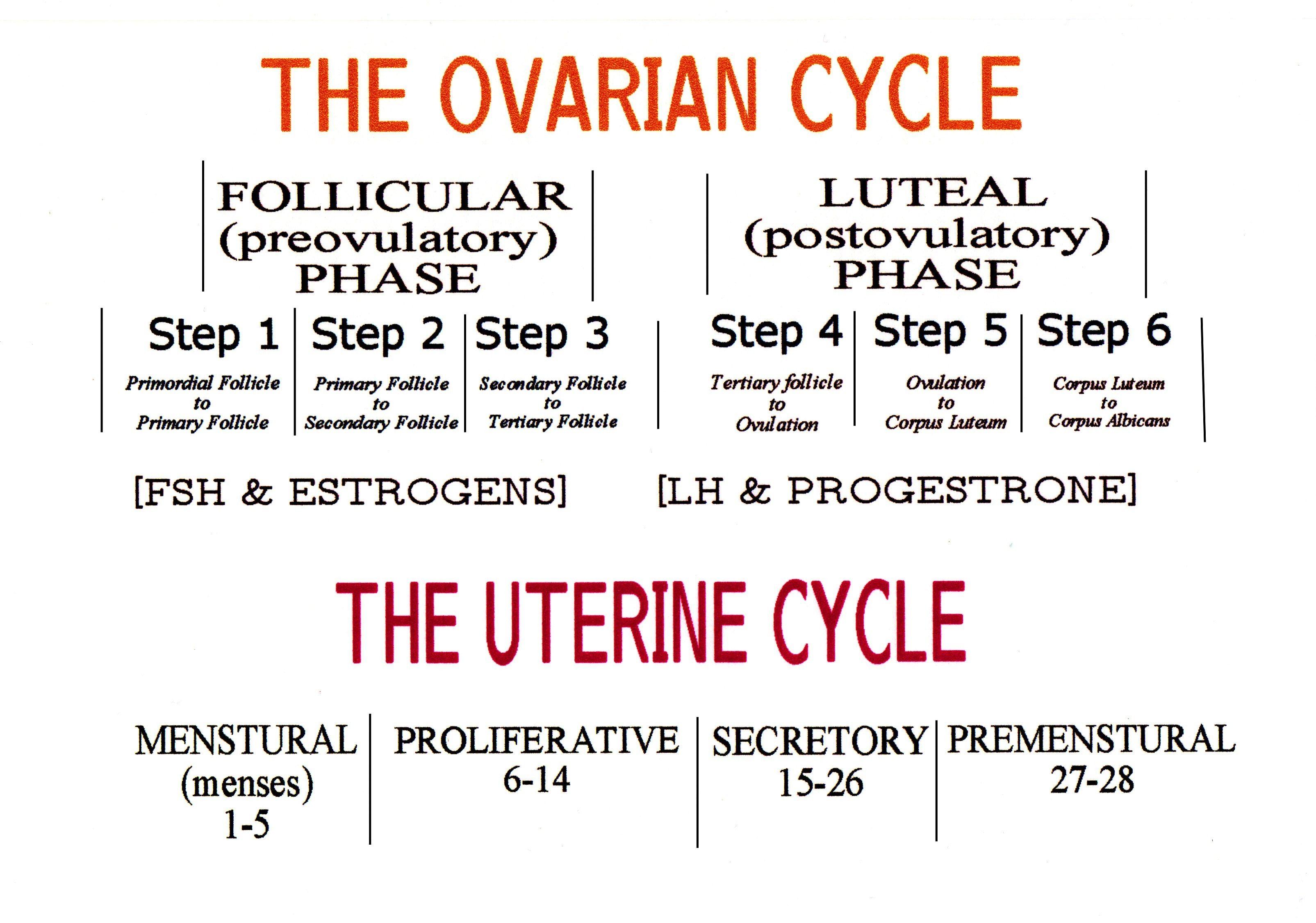 Ovarian and Uterine Cycle (pdf) | Student Nurse Inspiration ...