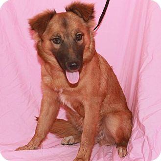 Palo Alto Ca Sheltie Shetland Sheepdog Golden Retriever Mix Meet Sasia A Dog For Adoption Http Www Adoptapet Com Pet Kitten Adoption Dog Adoption Pets