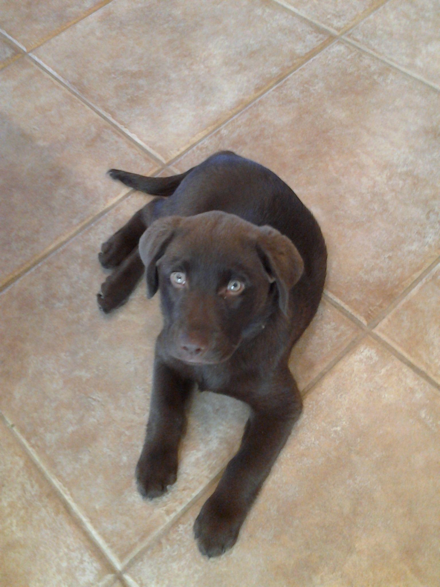 K9katelynn S New Client In Anthem Az English Chocolate Labrador Retriever Phoenix Dog Train Chocolate Labrador Retriever Chocolate Labrador Mans Best Friend