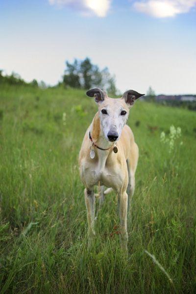 Greyhound Greyhound Puppy Grey Hound Dog Greyhound