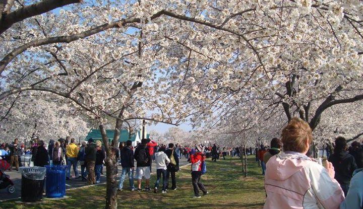It S A Beautiful Day For The Nashville Escape Experience Nashville Escape Experience Japanese Cherry Blossom Cherry Blossom Festival