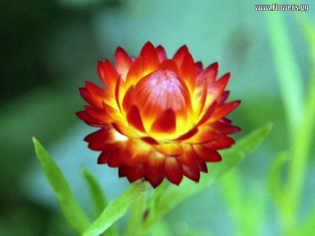 Strawflower Flowers Plants, feel stiff like paper. One of the ...