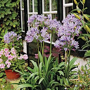 Grow Agapanthus To Add A Splash Of Blue To Your Summer Landscape Florida Flowers Florida Plants Florida Landscaping