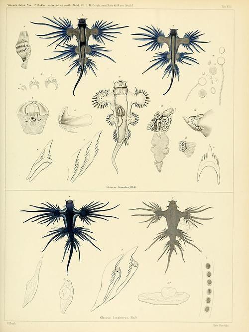 Glaucus atlanticus    Illustration from: Det Kongelige Danske videnskabernes selskabs skrifter. Naturvidenskabelig og mathematisk afdeling. Ser. 5 V. 7 (1868)  http://www.seaslugforum.net/factsheet.cfm?base=glauatla  http://en.wikipedia.org/wiki/Glaucus_atlanticus