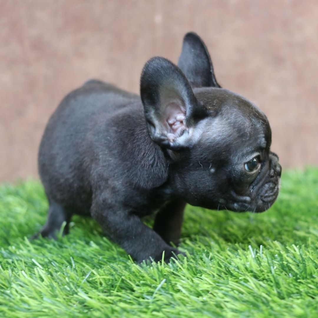10 French Bulldog Facts That You May Find Fascinating Dogs Ears