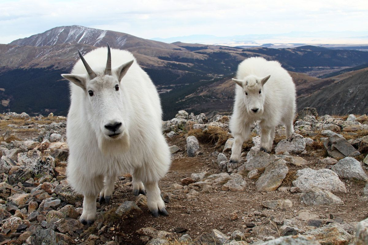 A mountain goat and kid stare into the camera from a few feet away ...