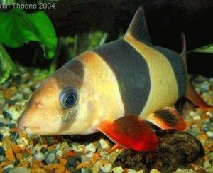 At Aquarist Classifieds Clown Loach Pet Fish Cool Fish