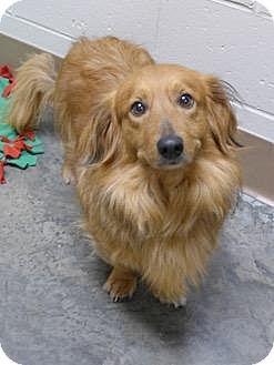 Wintersville Oh Dachshund Mix Meet Foxxy A Dog For Adoption