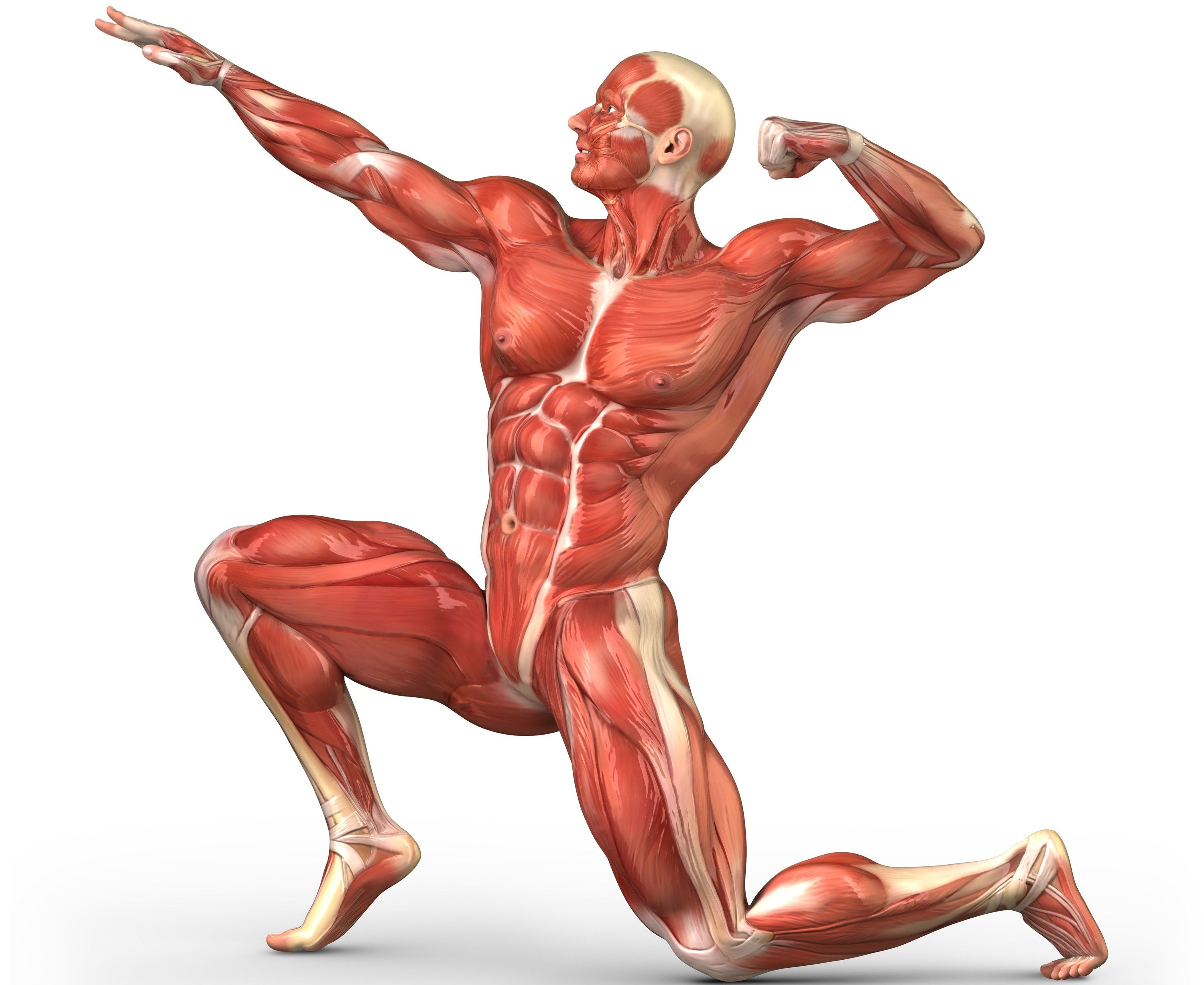 human muscular system diagram unlabeled - google search | muscular, Muscles