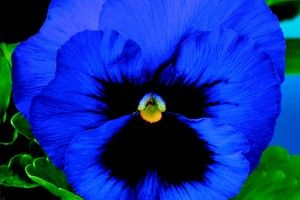 Pansies: Viola X Wittrockiana, 'Delta(TM) Premium Deep Blue Blotch'