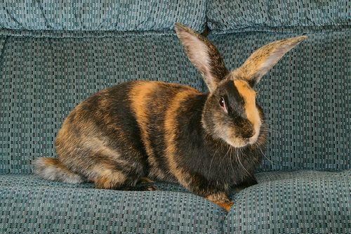 Harlequin Bun Rabbit Breeds Pet Rabbit Pet Rabbit Breeds