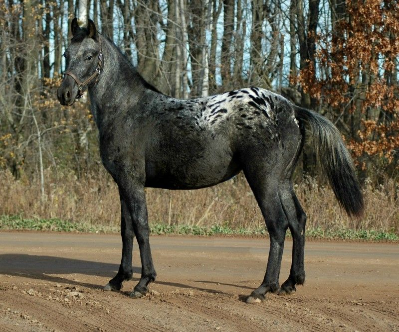 J'adour Design - Friesian/Appaloosa