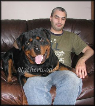 Our Conan Came From This Breeder Von Rotherwood Rottweiler