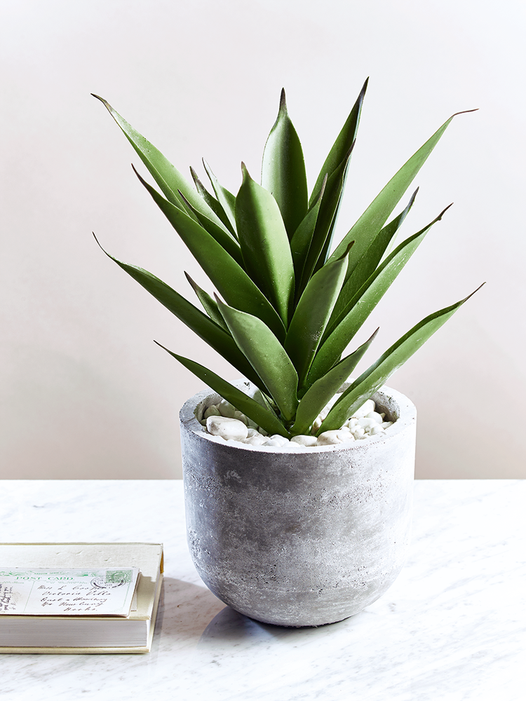 Aloe Vera Plant Care The Ultimate Guide For How To Grow: Potted In A Stylish And Smooth Concrete Pot, Our