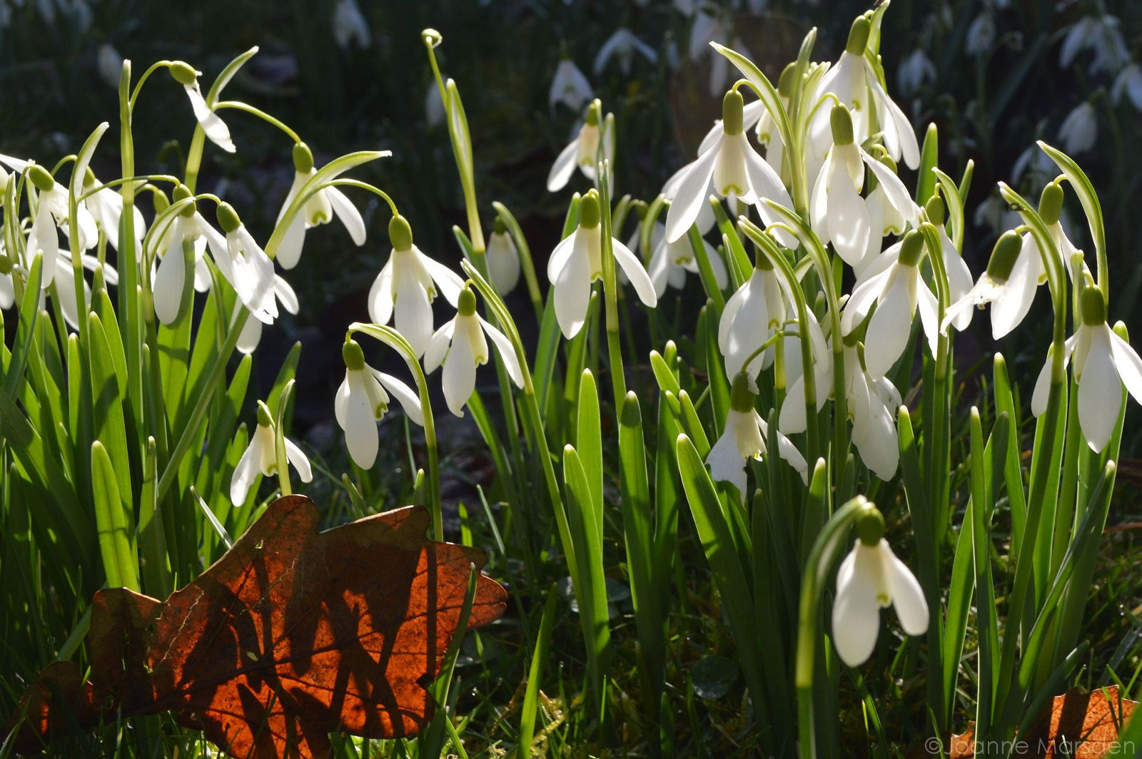 Sunshine and snowdrops #winter #flowers in Milebrook House Hotel garden