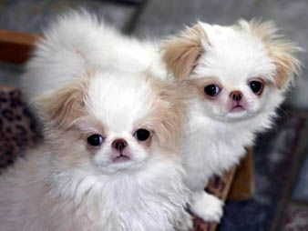 Lemon Chin Pups Japanese Chin Cute Baby Animals Cute Animals
