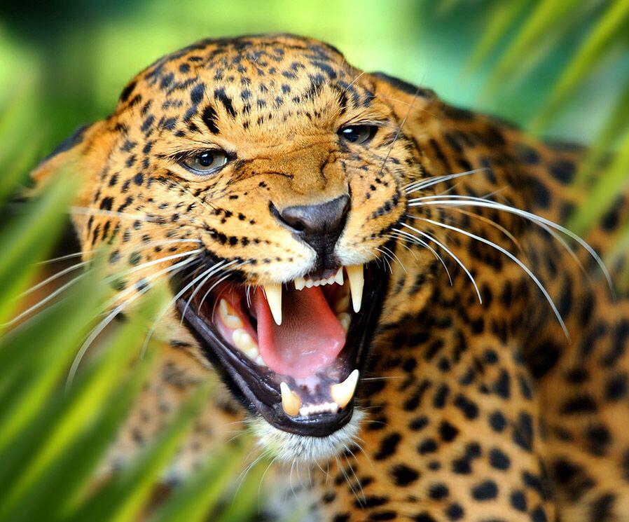 Hd Wallpaper Predator Jaguar Leopard Roar Wallpaper Flare
