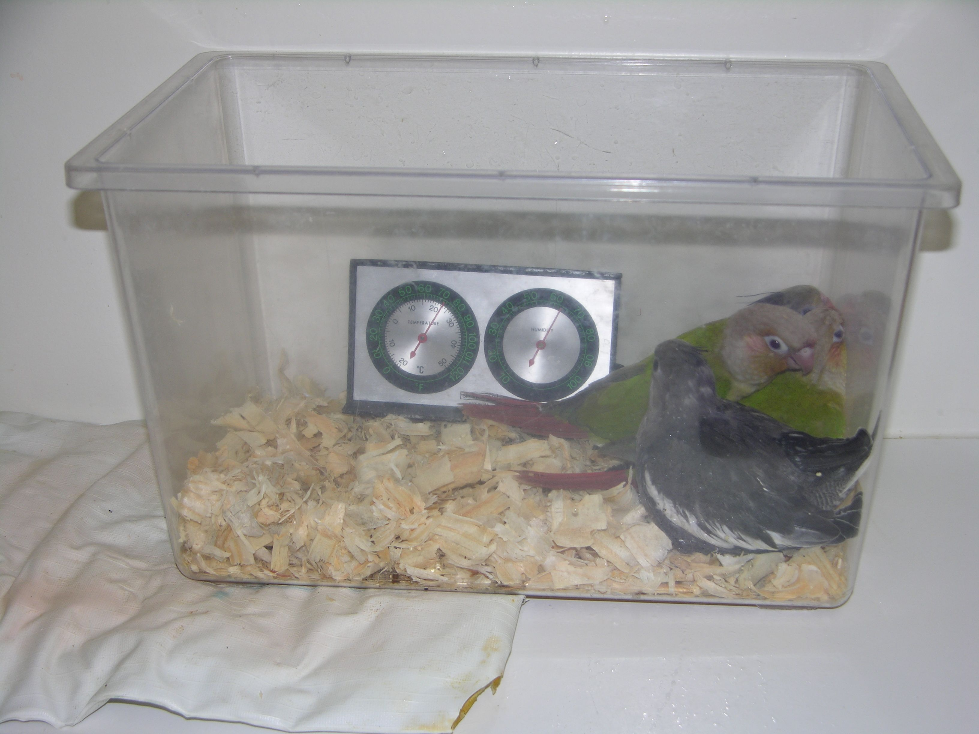 Image result for how to use a parrots brooder