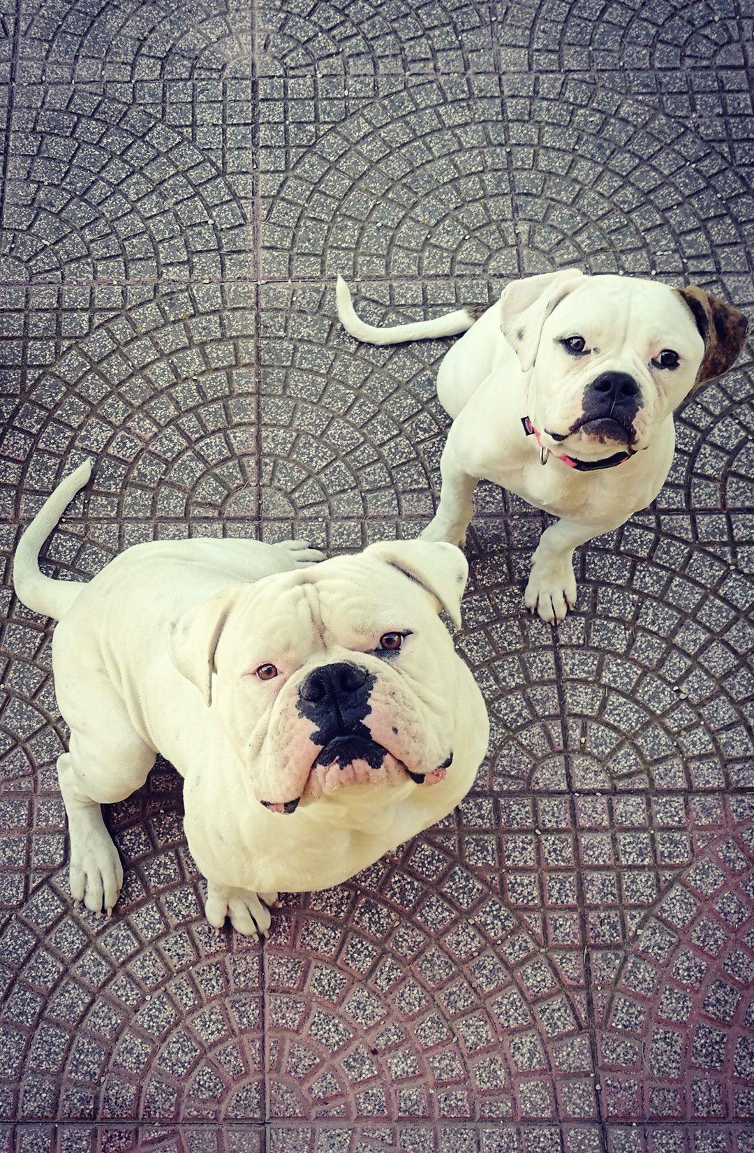 Lp S Sem Lp S Chanel Huge Dogs American Bulldog Beautiful Dogs
