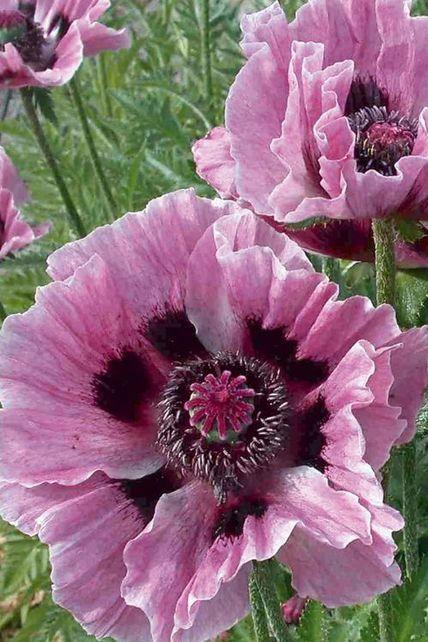 Orientalischer Mohn Manhattan Papaver Orientale Manhattan Blumen Pflanzen Schone Blumen Blumen