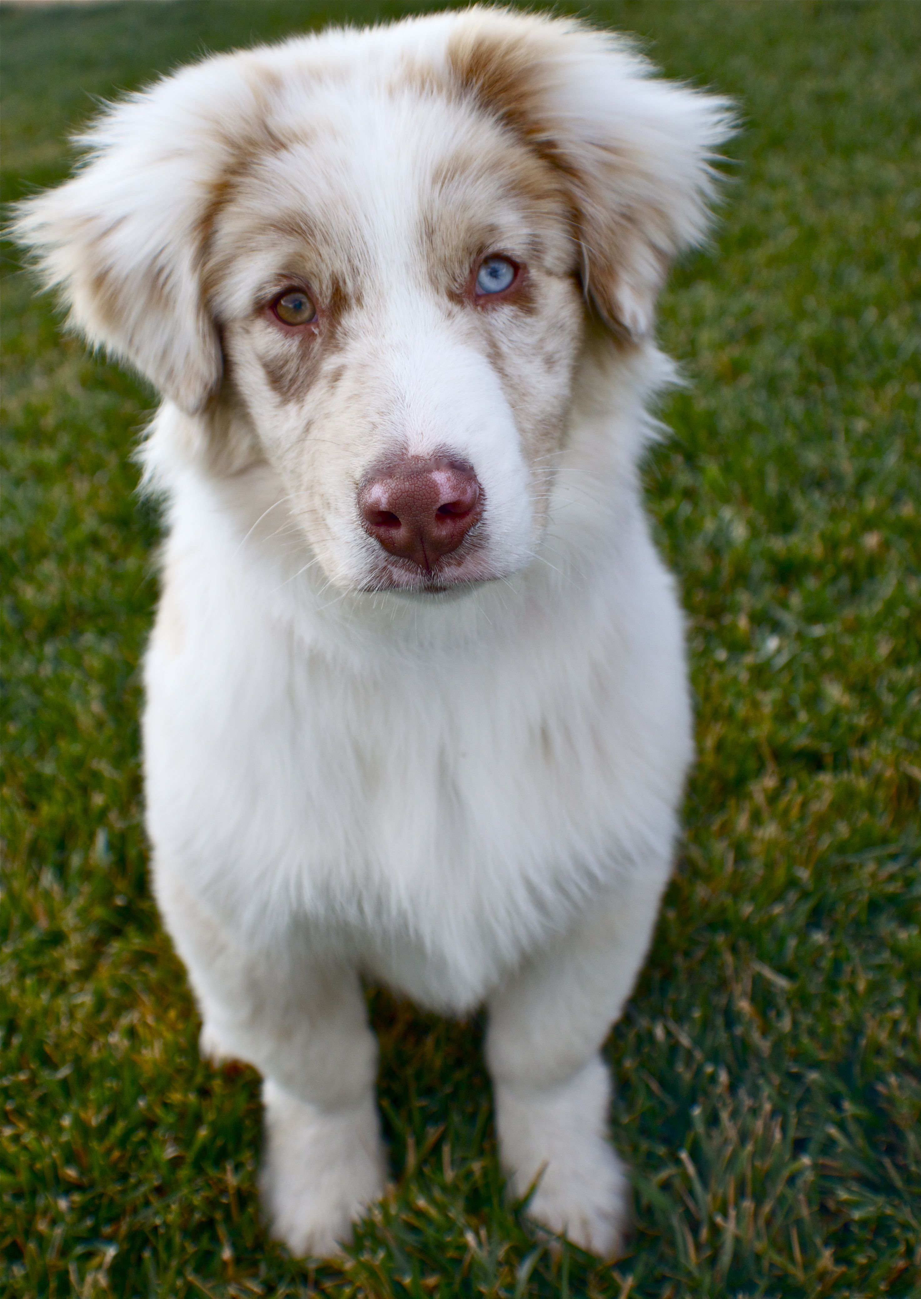 Australian Shepherd Club Of America Inc Asca Information
