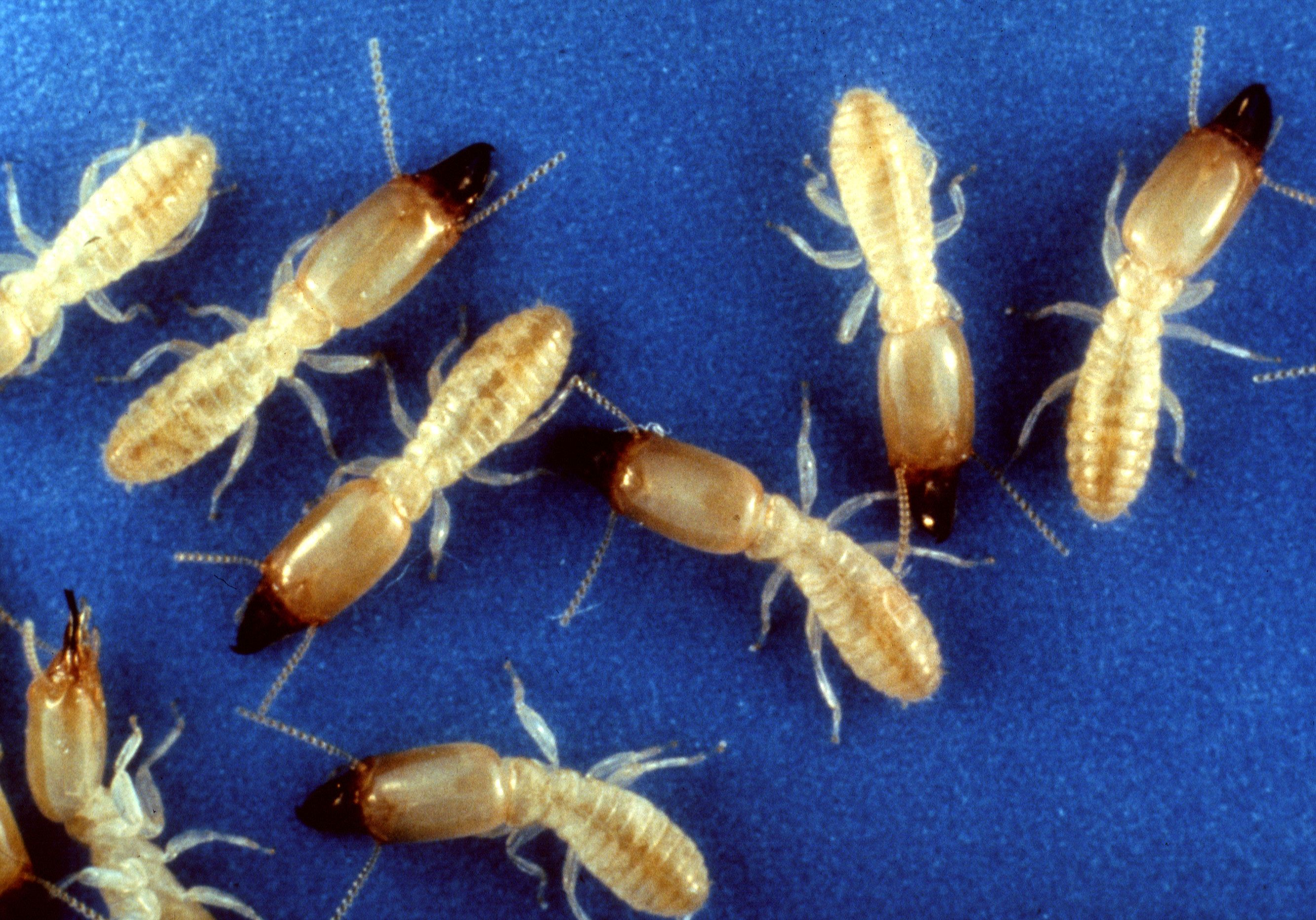 Eastern Subterranean Termite Wikipedia The Free Encyclopedia Termite Control Termite Infestation Termite Treatment