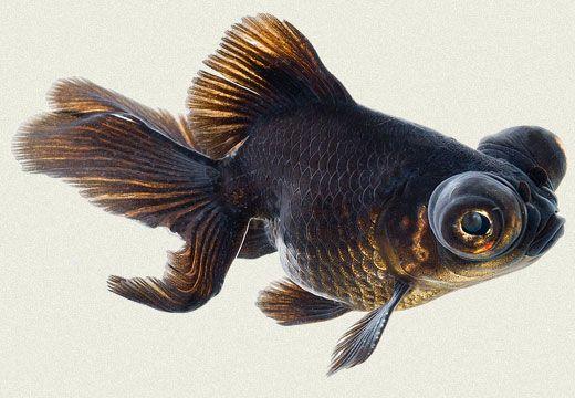 black goldfish ile ilgili görsel sonucu