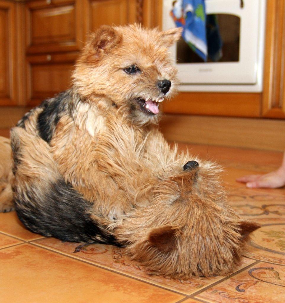 Pin by Laima R-cute on Norwich terrier | Norwich terrier ...