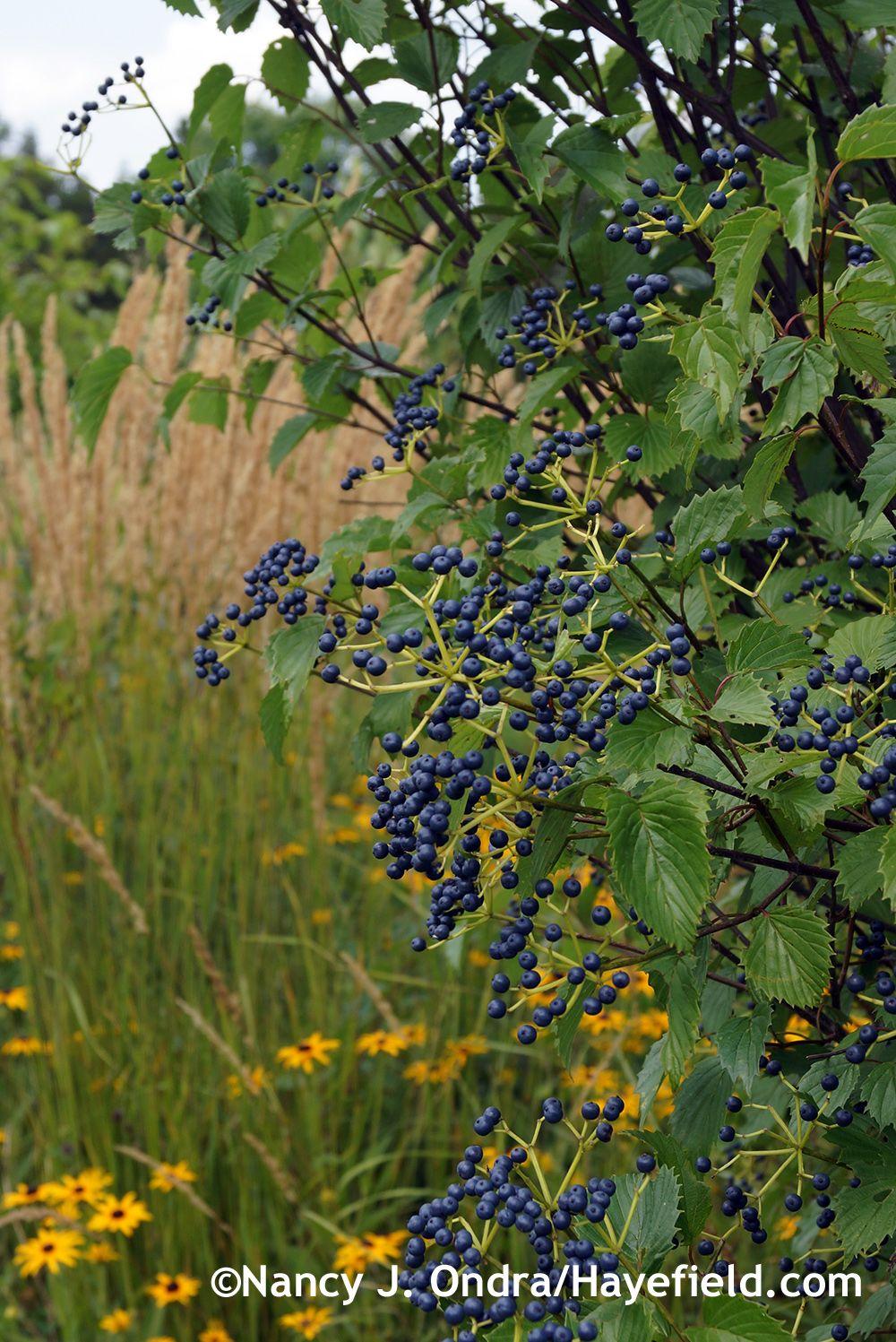 Blue Muffin viburnum (Viburnum dentatum 'Christom') August 2014