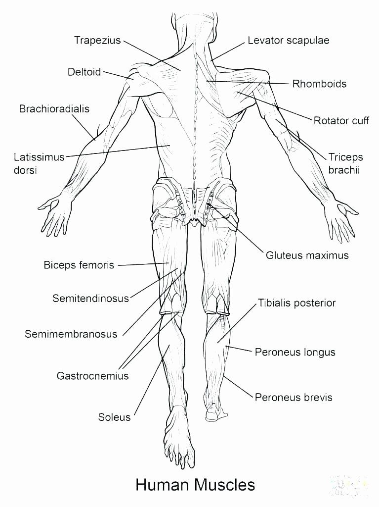 Printable Muscle Diagram Anatomy Coloring Pages Human