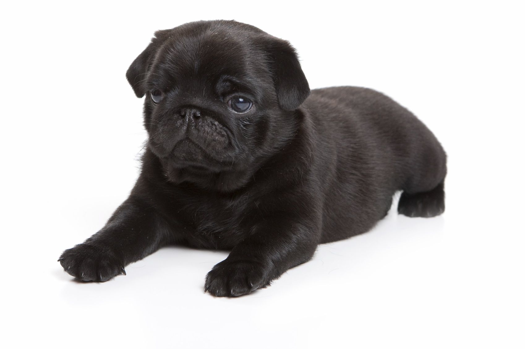 This Would Be Why I Want A Black Pug