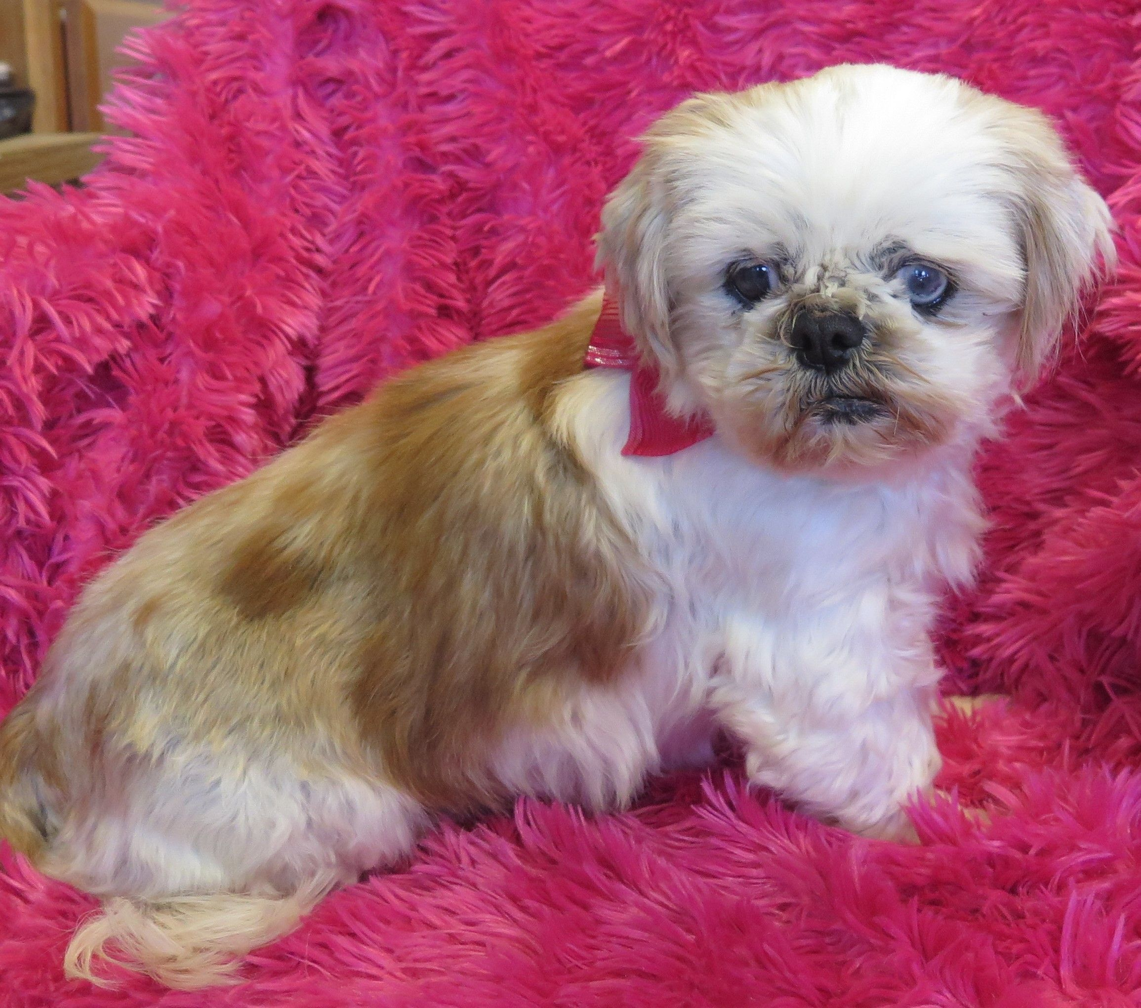 Kaitlyn Is An Adoptable Shih Tzu Searching For A Forever Family