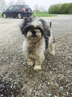 Adopt Rosie On Petfinder Dogs Shih Tzu Dog Shih Tzu