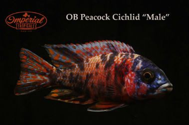 Ob Peacock Cichlid Male The Ob Peacock Is A Hybrid Of A Male Peacock And A Female Mbuna They Have Been Bred For Severa Cichlids Cichlid Fish African Cichlids