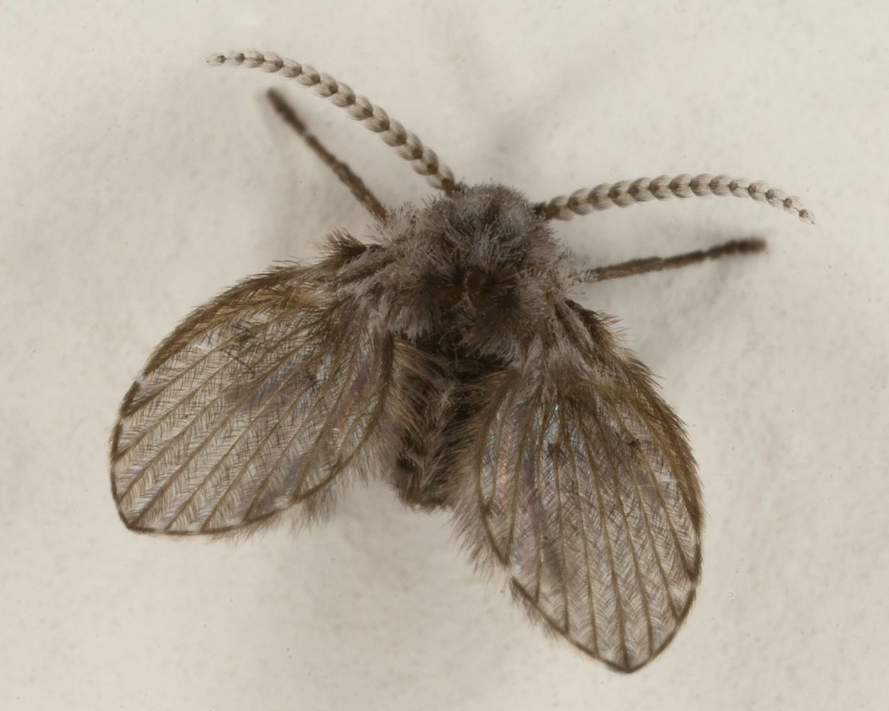 Picture Of A Moth Fly Clogmia Albipunctata Length Of This