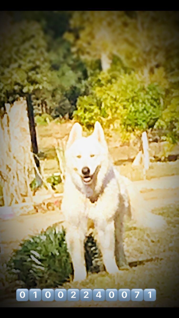 Pure White German Shepherd Puppies For Sale In Egypt White