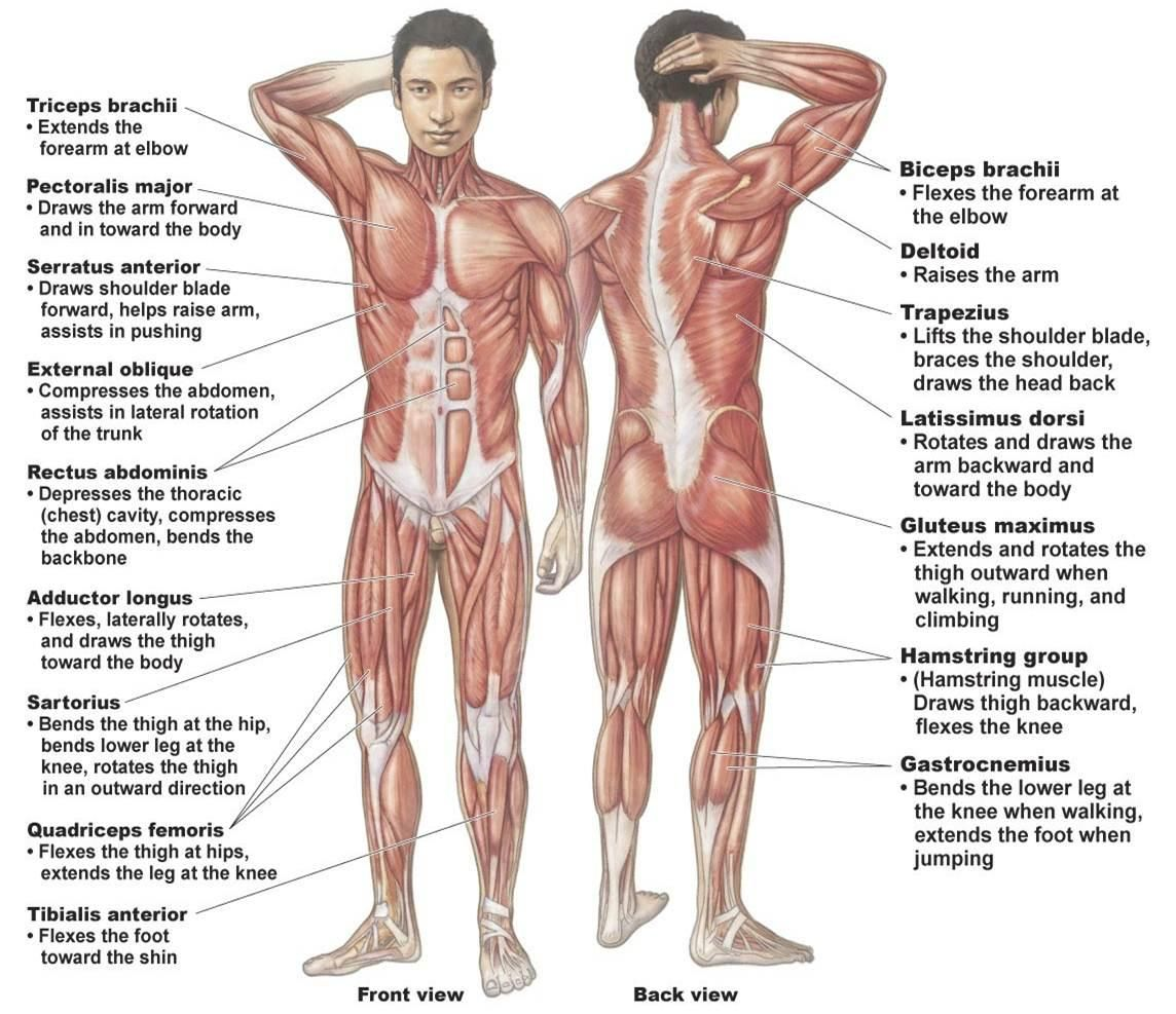 simple muscle system | human muscular system | rnbones
