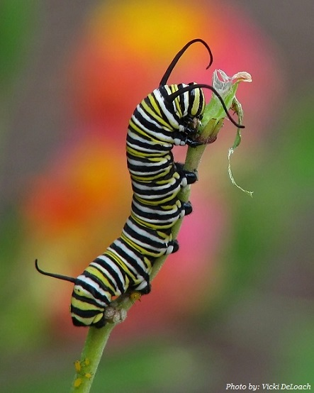 Interesting facts about monarch butterfly in 2020