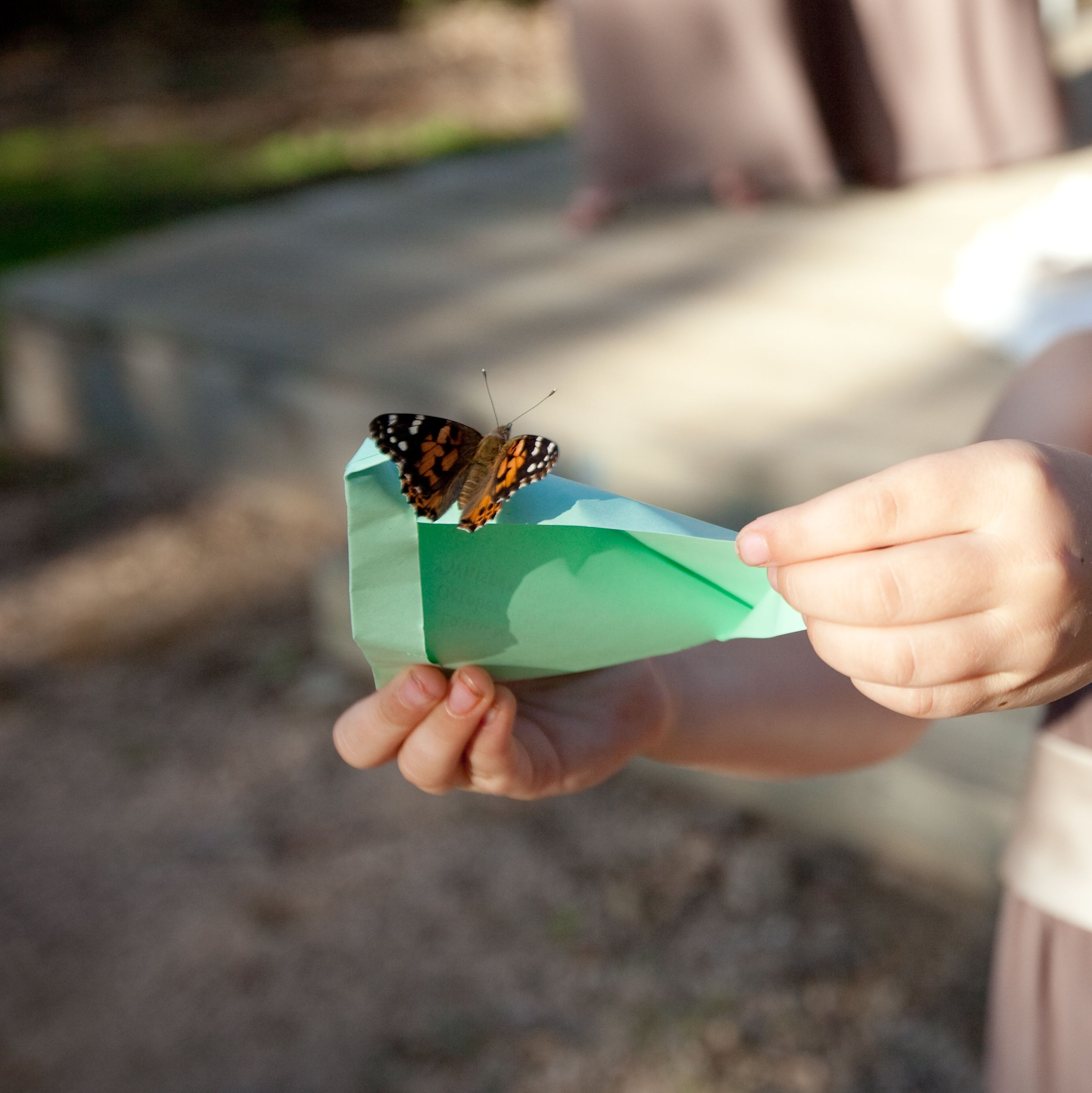 Butterfly Release Package 5 200 Painted Lady