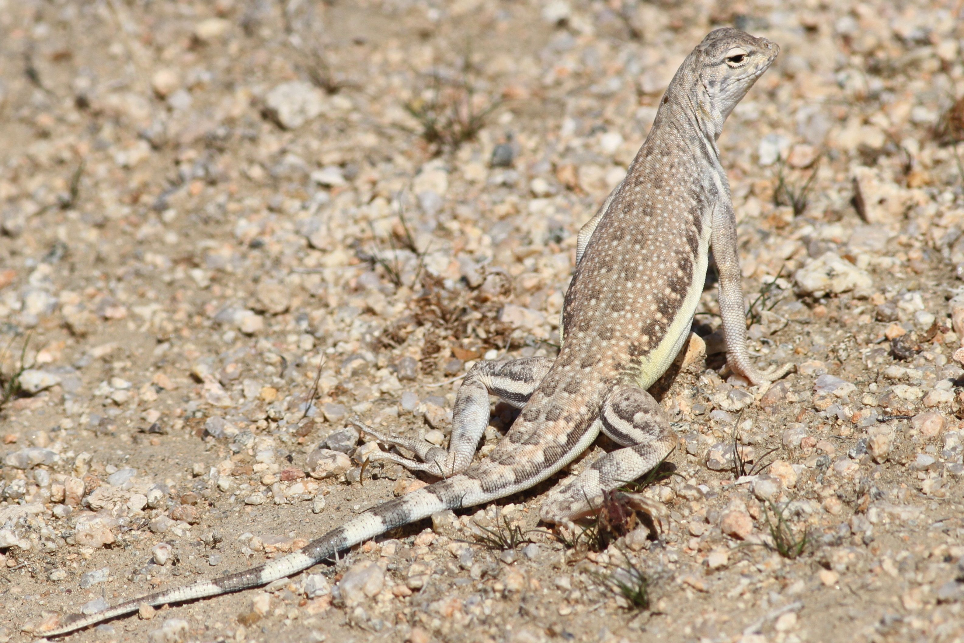 Zebra Tailed Lizard Desert Tortoise Natural Area With Images
