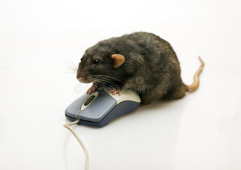 Black Rat And A Mouse On White Background Aff Rat Black Mouse Background White Ad Black Rat Mouse Rats