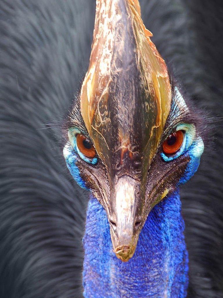 Ostrich Cassowary, Australian animals, Dangerous animals