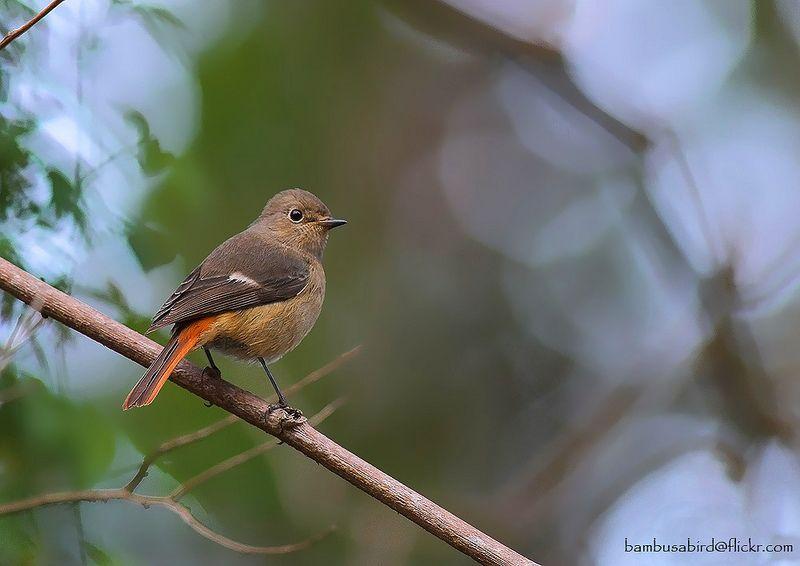 Daurian Redstart / Phoenicurus auroreus / นกเขนท้องแดง (female) | Flickr - Photo Sharing!