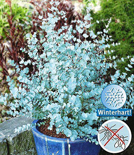 BALDUR-Garten Winterharter Eukalyptus u0027Azura®u0027, 1 Pflanze