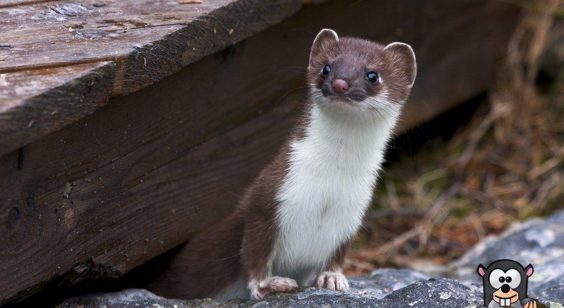 Naturliche Feinde Von Maulwurfen Wuhlmausen Erkennen Ansiedeln Ausgestopftes Tier Tiere Wild Haustiere