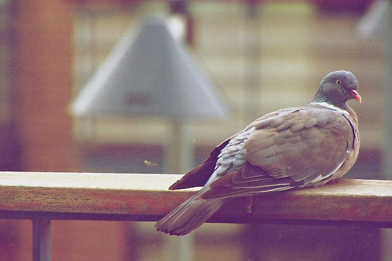 Peeping Dove! by Gursimran Sibia