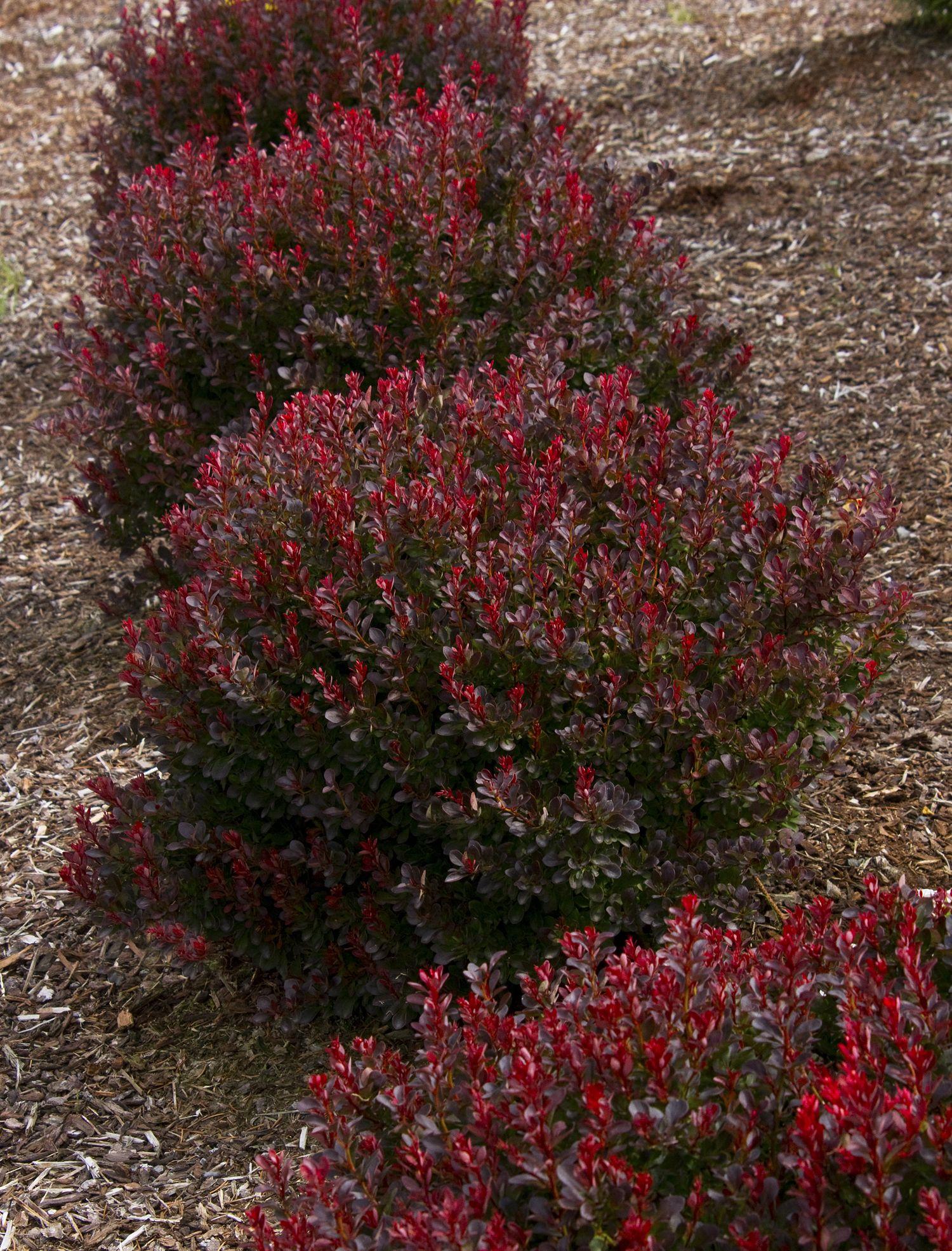 Dwarf Perennial Bushes Red Leaves