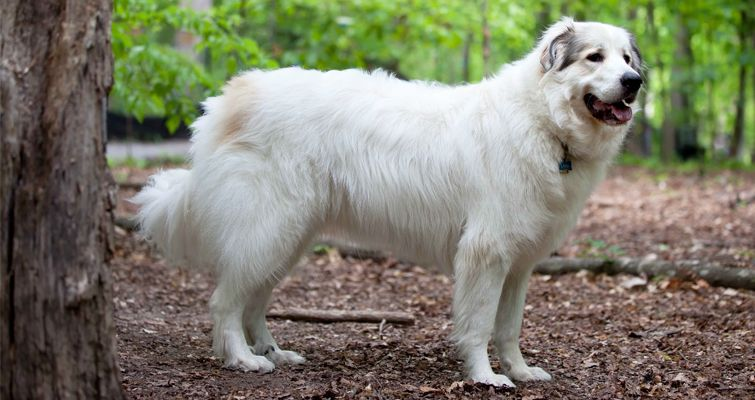 Know How To Train A Great Pyrenees A Large Dog Breed Petsworld