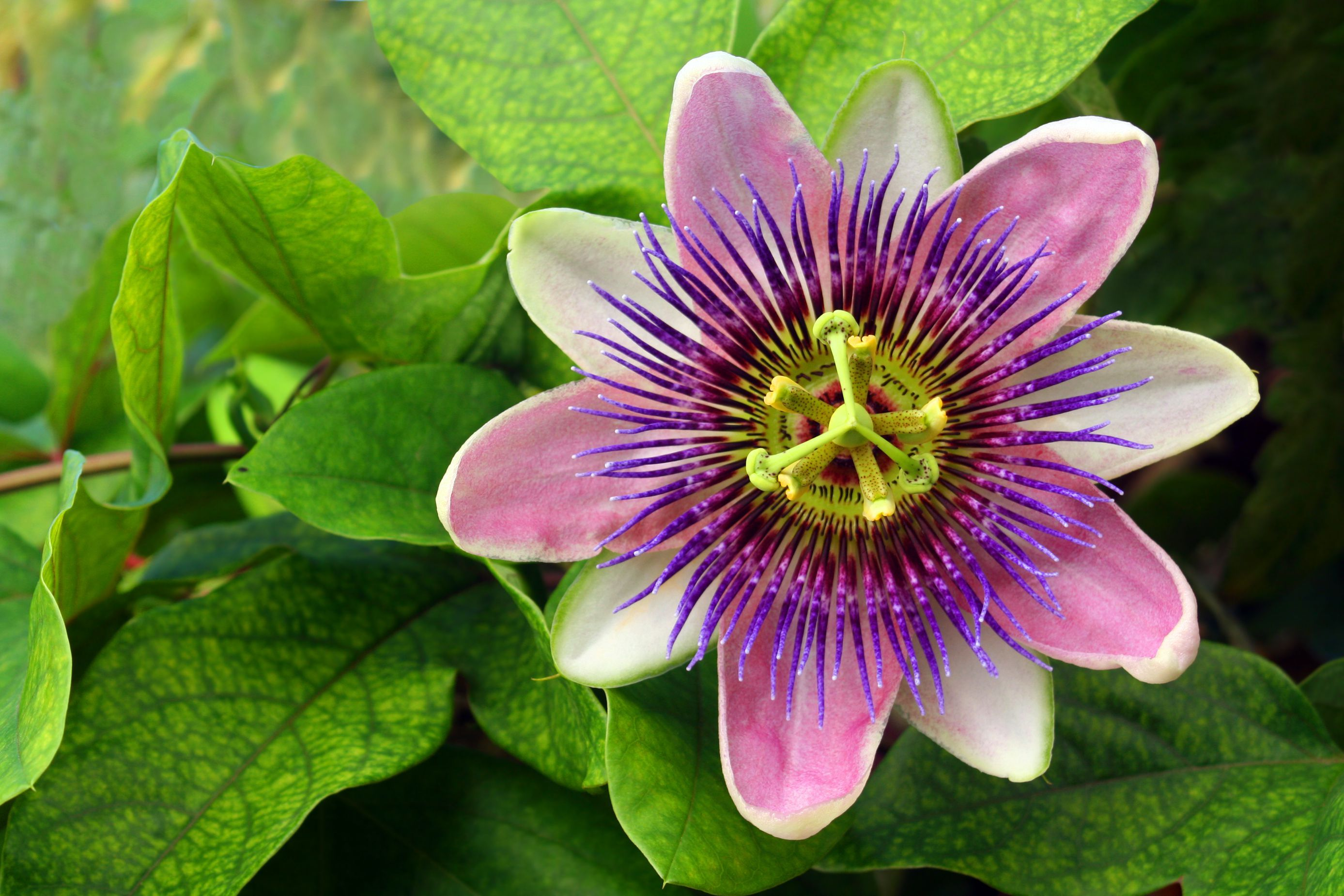 How To Grow Passionflower Indoors Passion Flower Unusual Flowers Unusual Plants