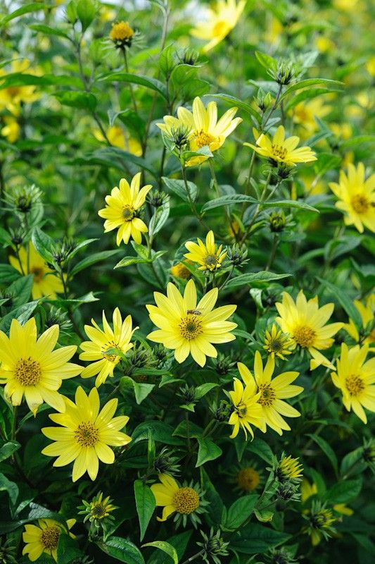 Helianthus Lemon Queen A Tall Perennial Sunflower With Small Yellow Daisies Late In Summer Lemon Queen Performs Well E Perennial Sunflower Plants Perennials